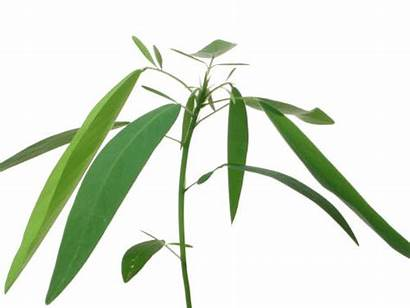 Dancing Plant Mimosa Pudica Desmodium Plants Curious