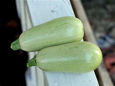 Light Green Squash by Zucchini Lungo Bianco Sq Baker Creek Heirloom Seeds