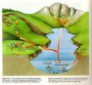 environmental engineering: PHOSPHORUS CYCLE