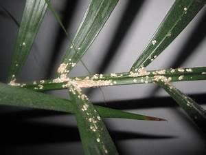 Zimmerpflanze Weiße Blüten : wei e ablagerungen auf zimmerpflanze schildl use pflanzenkrankheiten sch dlinge green24 ~ Markanthonyermac.com Haus und Dekorationen