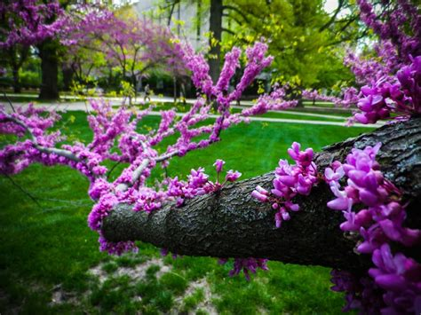 japanese redbud tree photos eastern redbud purple flowering tree yelp