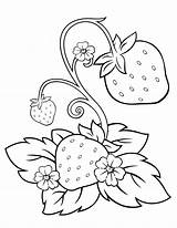 Strawberry Coloring Activity Chosen Fruit Illustrations sketch template