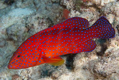 grouper giant fish ikan lak ai coral goliath tercantik dunia biggest shapes sizes atlantic another many come they kaskus