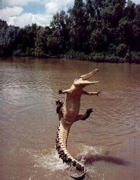 crocodile jumping   water luvbat