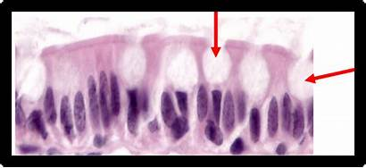 Columnar Epithelium Simple Ciliated Non Glands Nonciliated