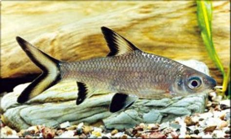 poisson requin aquarium eau douce que mange le poisson requin et poisson chat