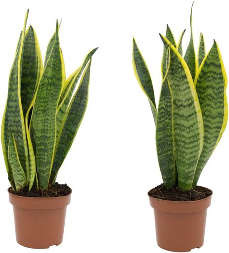 Pflanzen Zur Verbesserung Des Raumklimas by Zimmerpflanze 187 Bogenhanf 171 H 246 He 20 Cm 2 Pflanzen Otto