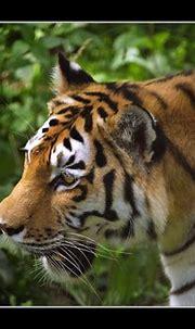 Siberian Tiger (Panthera tigris altaica, Amurtiger) | Flickr