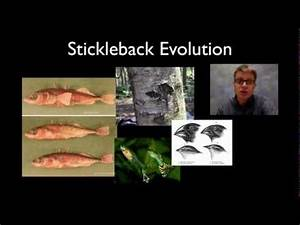 Stickleback Evolution — bozemanscience