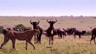 Animals Animated Animal Gifs Wild African Animations