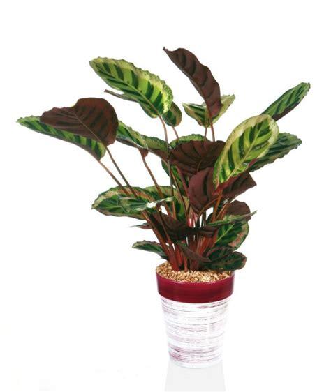 zimmerpflanze mit roten blüten kalatea calathea uprawa i pielęgnacja kwiaty na stanowisko p 243 łcieniste kwiaty doniczkowe
