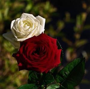 Fleur Rose Et Blanche : prendre une rose rouge avec une rose blanche le blog de manu photos pentax ~ Dallasstarsshop.com Idées de Décoration