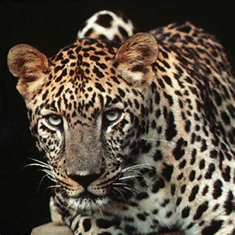 leopard gif anime leopard gifs animes