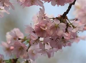 Rosa Blühende Bäume April : fr hling bl ten baum wei e bl te bl te blume pictures to pin on pinterest ~ Michelbontemps.com Haus und Dekorationen