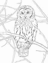 Owl Coloring Hoot Printable Wood Ausmalbilder Burning Coruja Zum Kostenlos Owls Uhu Uilen Patterns Eulen Ausmalbild Kleurplaten Colouring Drawing Ausdrucken sketch template