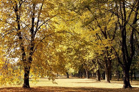 picture forest trees yellow leaves autumn