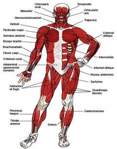 hd wallpapers musculoskeletal system diagram aqz.earecom.press, Muscles
