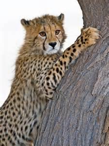 Baby Cheetah Cub Tree