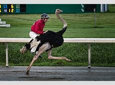 ostrich_racing 4 of 4 Ostriches, camels and horses, oh