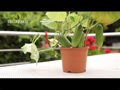 comment planter un plant de concombre jardinerie truffaut tv