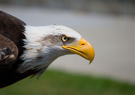 american eagle free image | Peakpx