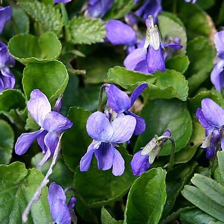 violet viola spp beautiful small plants gardens