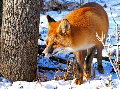 Are You Sly As A Fox? Wonderopolis