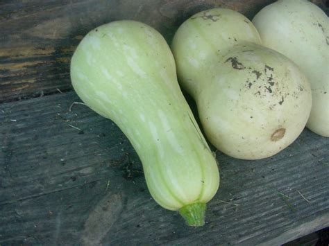 Light Green Squash by Gardening Along The Creek August 2010