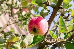 Baum Mit Roten Blättern : apfelbaum mit roten pfeln der apfelbaum im garten sommergartenfr chte gr ne pfel auf dem baum ~ Eleganceandgraceweddings.com Haus und Dekorationen