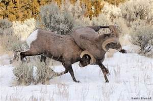 Bucks, bulls and ram fights | goHUNT