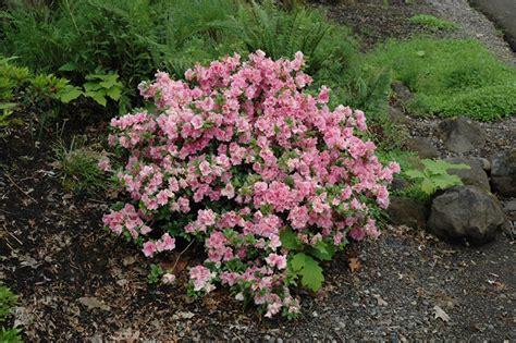 gumpo pink azalea rhododendron 39 gumpo pink 39 in issaquah seattle bellevue redmond renton