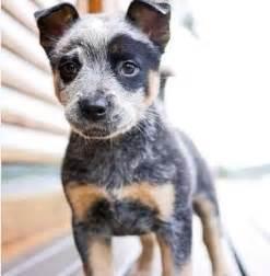 beagle blue heeler dog breeds picture
