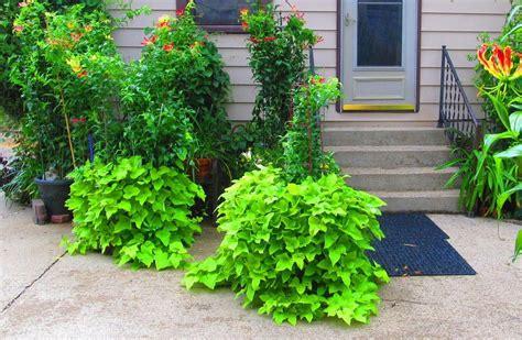 Decorative Potato Plant - photo of the entire plant of ornamental sweet potato