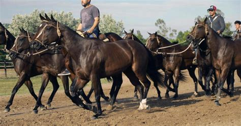 polo horses argentina clones cloned champion match argentine team were uses