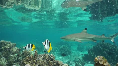 several blacktip reef sharks with tropical fish in shallow water of the lagoon of huahine island