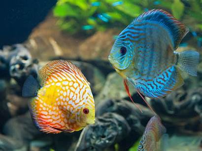 Fish Discus Wallpapers Animals Desktop Backgrounds Mobile
