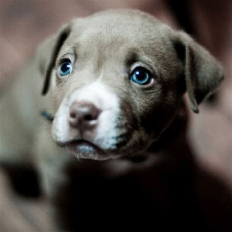 do blue weimaraners shed to the hypnotic of these weimaraner puppies