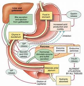 Great Digestive System Outline