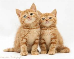 British shorthair red tabby kittens for sale - About Animals