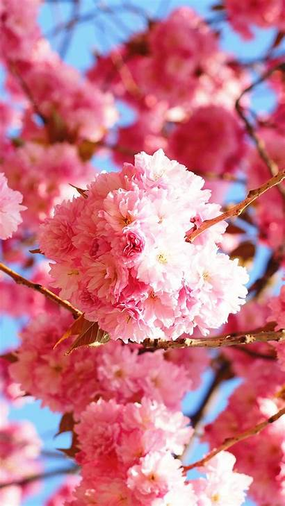 Blossom Cherry Phone Wallpapers Blossoms Galaxy 1021