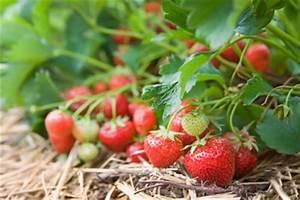 Erdbeeren Richtig Pflanzen : anleitungen im bereich garten zum thema erdbeere ~ Lizthompson.info Haus und Dekorationen