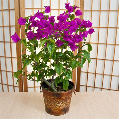 bougainvillea in rustic tin container with handles