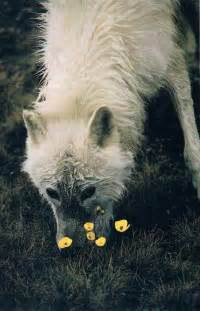Arctic Wolf National Geographic