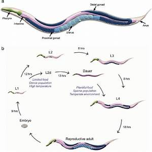 1 Introduction To C  Elegans Anatomy And Life Cycle    A   Schematic