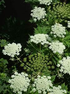 Giant, Hogweed, Wallpapers