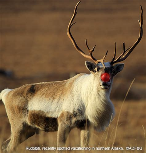 santas reindeer species profile alaska department