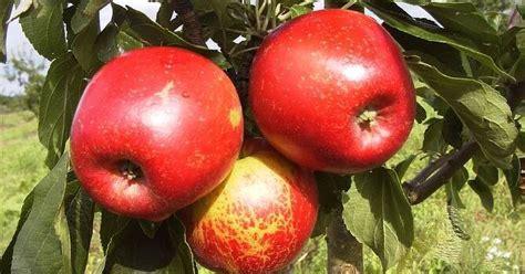 Iecienītākās ābolu šķirnes Latvijā. Kas par tām jāzina ...