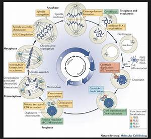 Diagram Cell Cycle G1