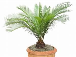 Bäume Umpflanzen Jahreszeit : palmfarn umtopfen wann und wie geht 39 s am besten ~ Orissabook.com Haus und Dekorationen