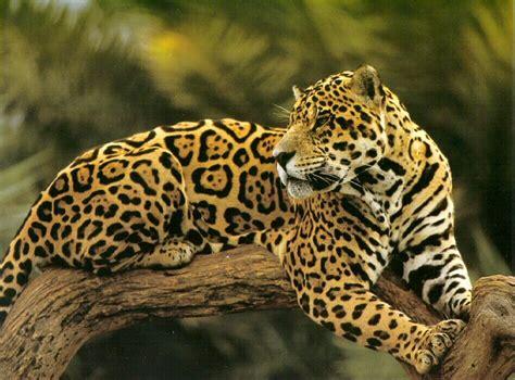 animals jaguar  leopard whats